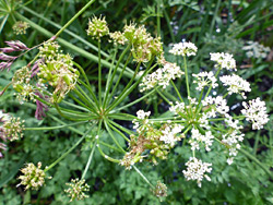 Two umbels, one withered