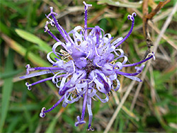 Blue-purple inflorescence