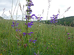 Meadow clary, in situ