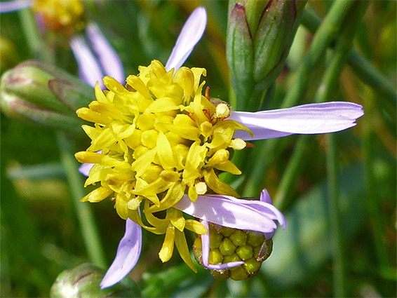 Sea aster (aster tripolium), Walborough Nature Reserve, Somerset