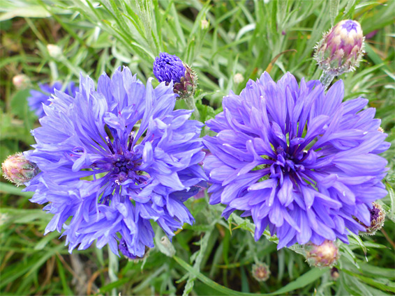 Cornflower (centaurea cyanus), Selsley Common, Goucestershire