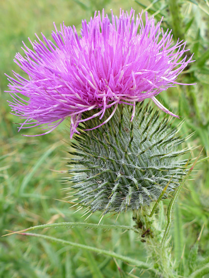 Cirsium vulgare (spear thistle), Glenthorne Beach, Somerset