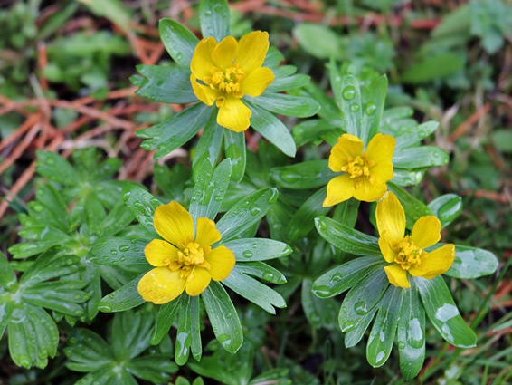 Winter aconite (eranthis hyemalis), Deerhurst Priory, Gloucestershire