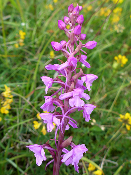 Gymnadenia conopsea (fragrant orchid), Selsley Common, Goucestershire