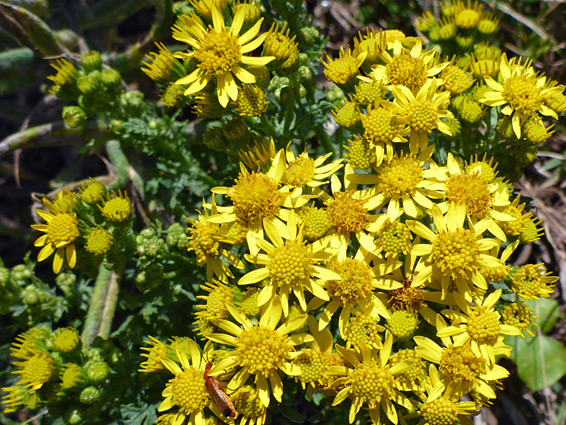 Common ragwort (jacobaea vulgaris), Nash Point, Vale of Glamorgan