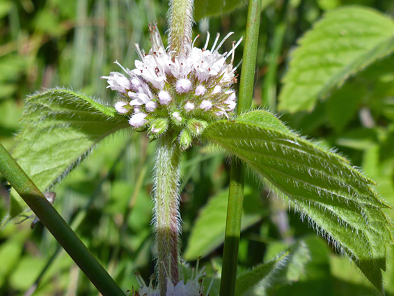 Mentha arvensis (corn mint), The Rough, Devon