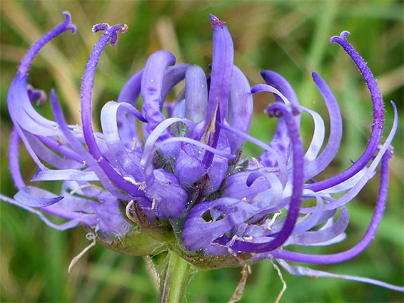 Phyteuma orbiculare (round-headed rampion), Roundway Hill, Wiltshire