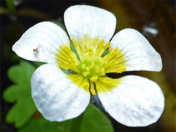 Ranunculus aquatilis (common water-crowfoot), Badgeworth Nature Reserve, Gloucestershire