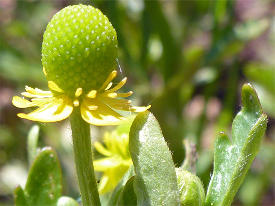 Celery-leaved buttercup (ranunculus sceleratus), Lawrence Weston Moor, Gloucestershire