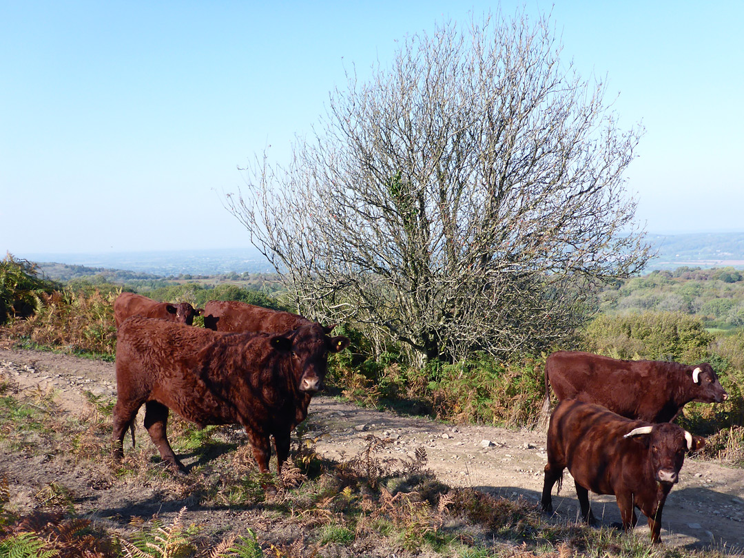 North Devon cattle
