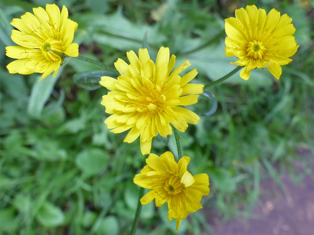 Rough hawksbeard