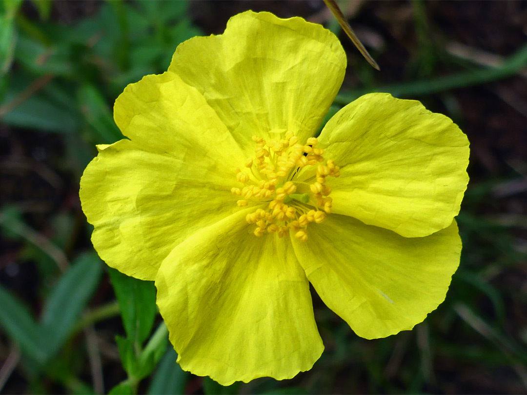 Common rock rose