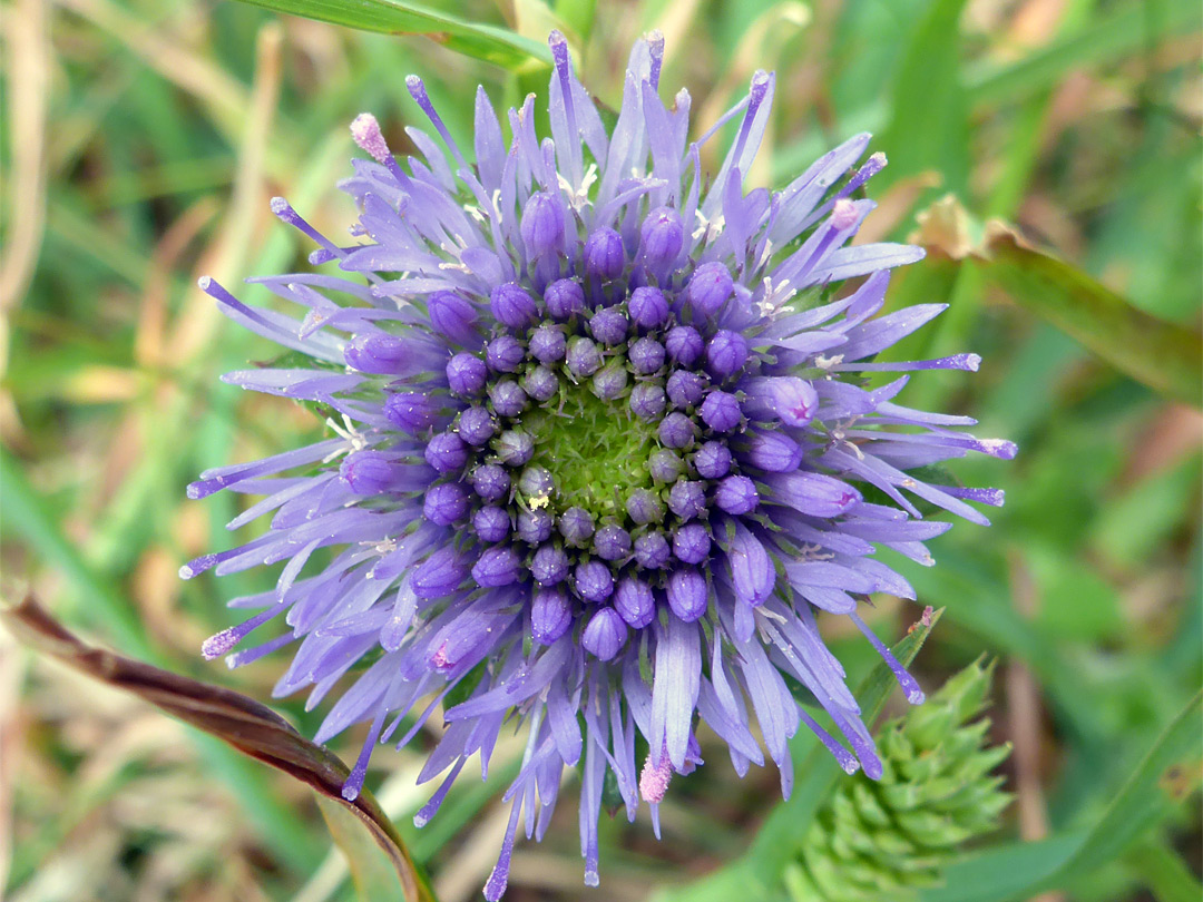 Sheep's bit scabious