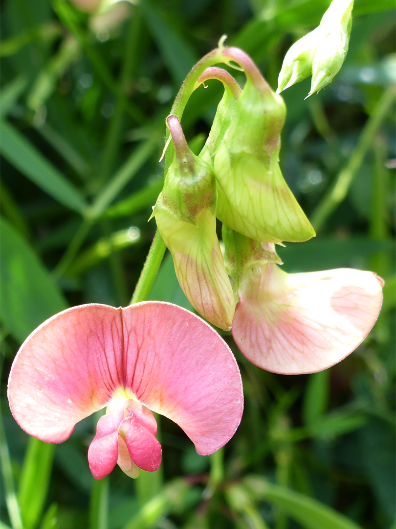 Narrow-leaved everlasting pea