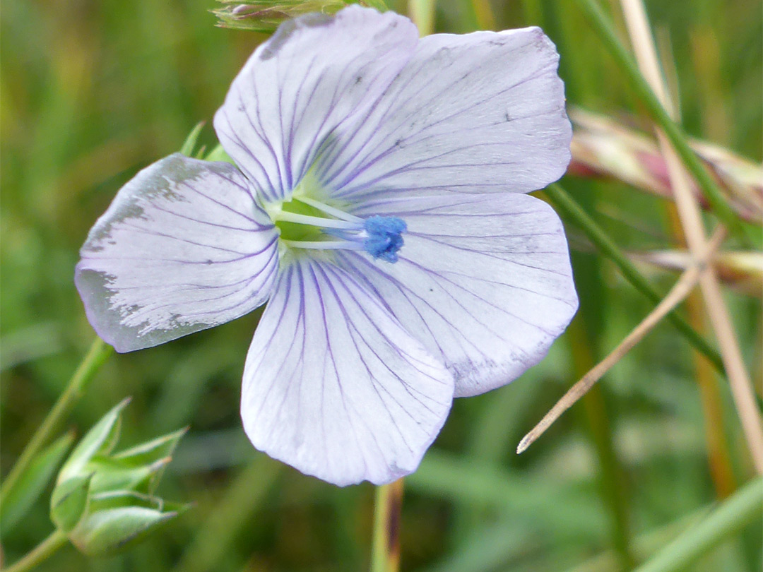 Pale flax