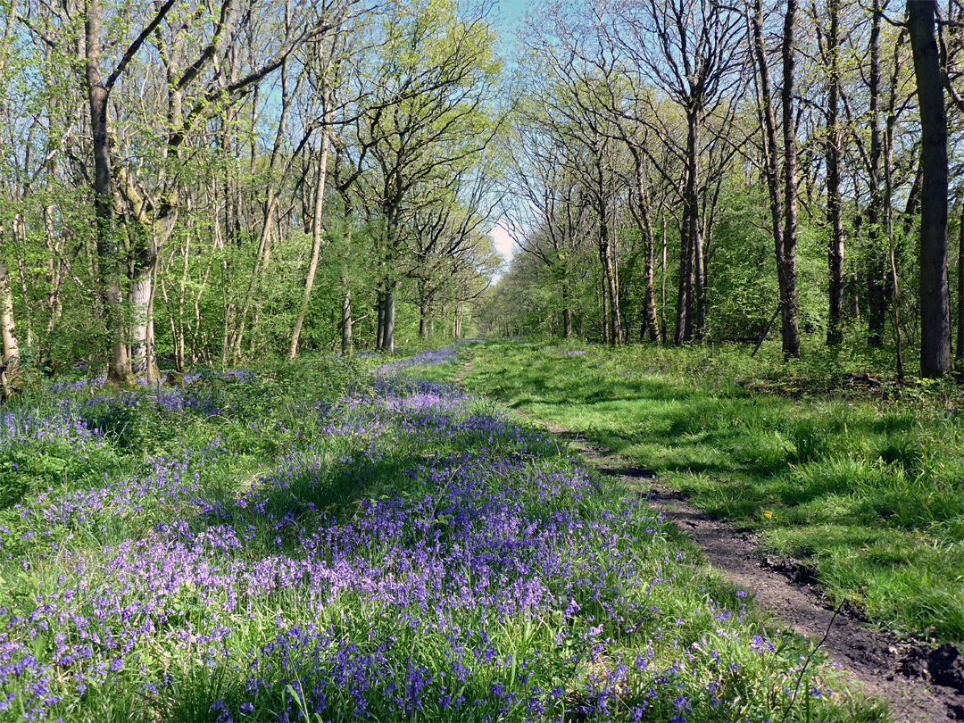 Bluebells in Long Trench