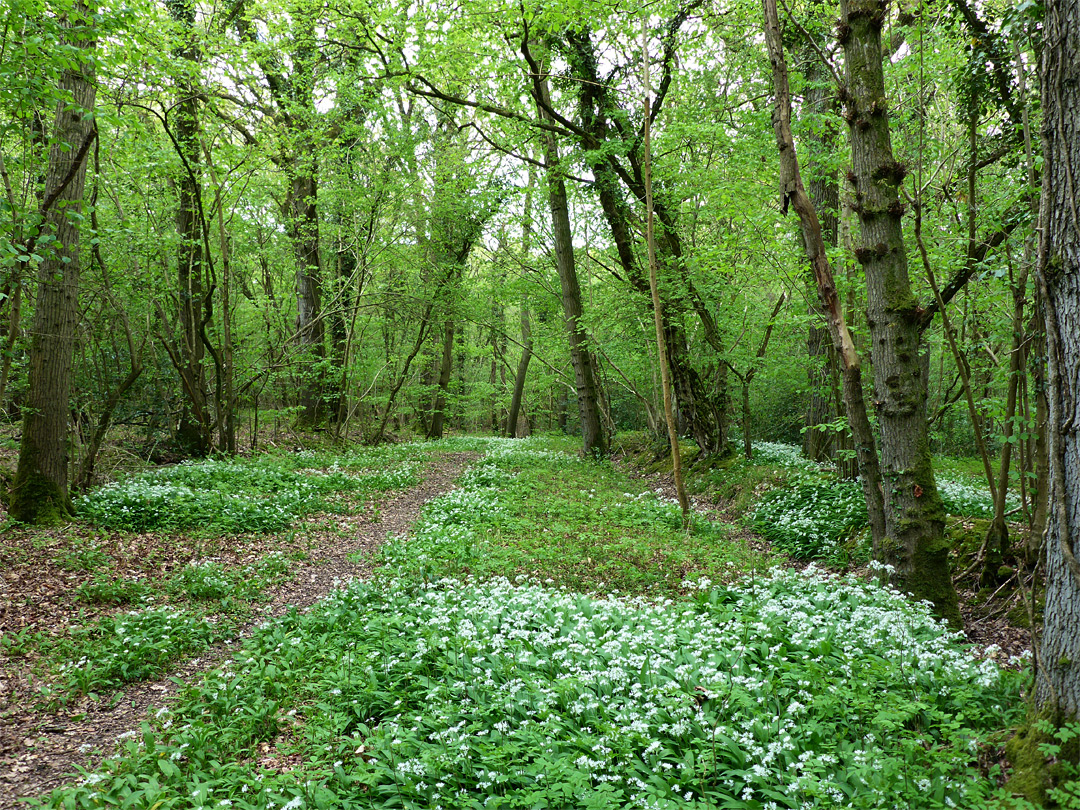 Wild garlic beside a path