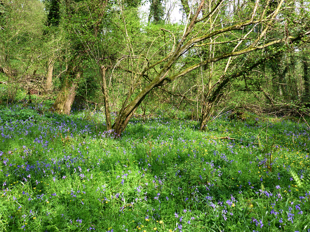 Bluebells and celandines