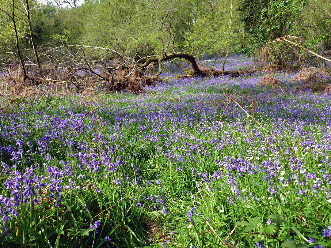 Bluebells and a fallen tree