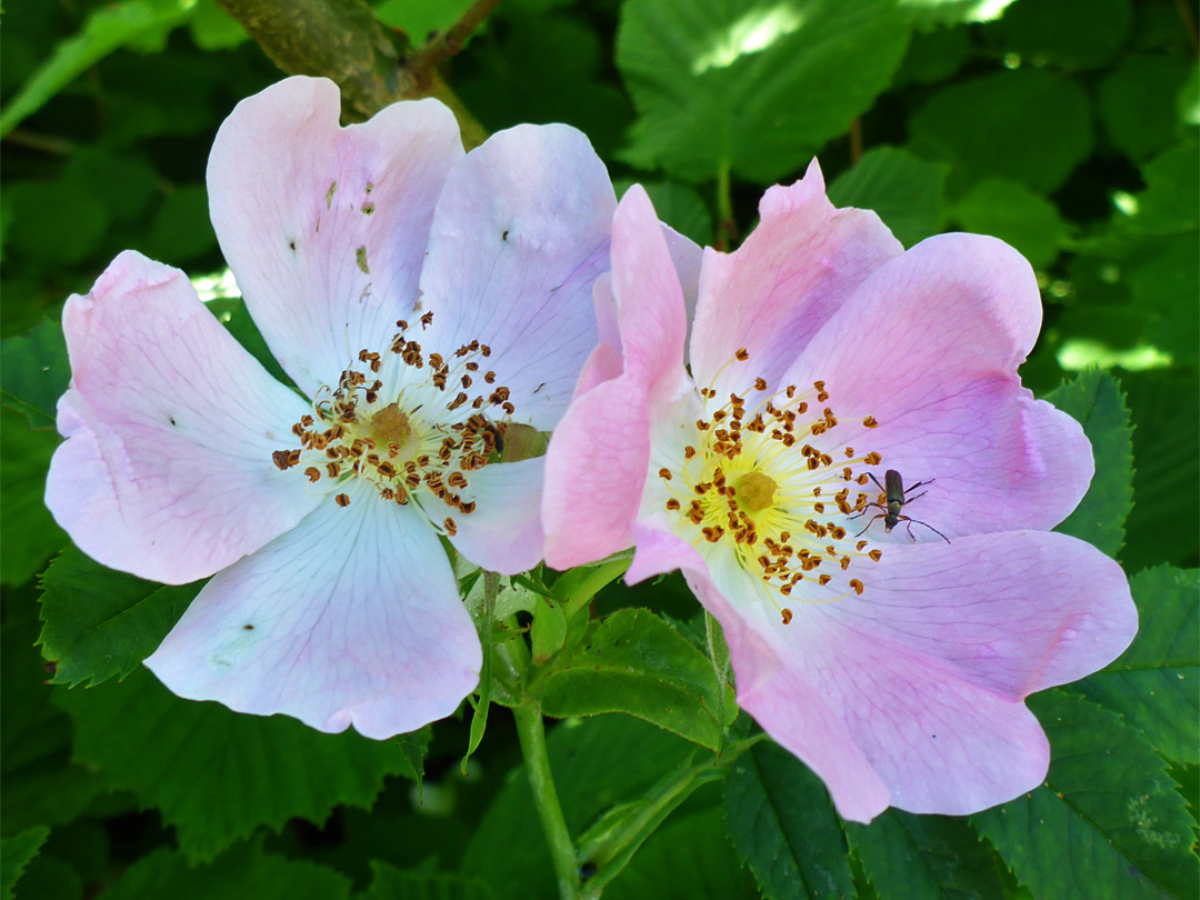 Two flowers of dog rose