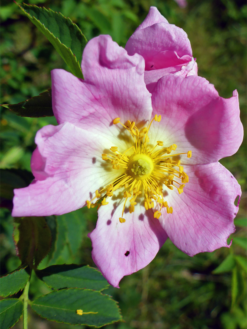 Pink flower of dog rose