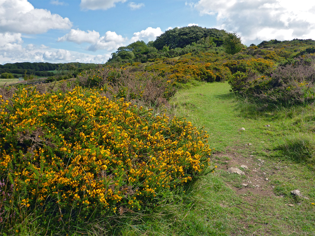 Gorse in late summer