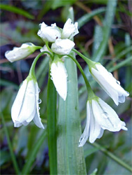 Buds of three-cornered leek