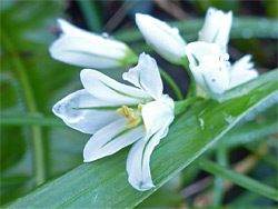 Flowers of three-cornered leek