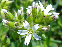 Sticky mouse-ear chickweed