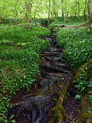 Stream and wild garlic