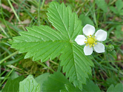 White flower and green, trifoliate leaf