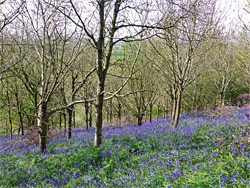 Bluebells in the south wood