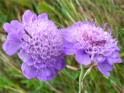 Small scabious - flowers