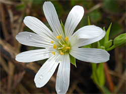 White, five-petalled flower