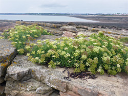 Rock samphire