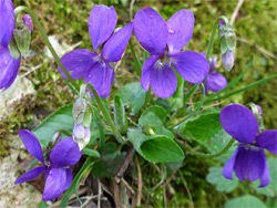 Hairy violet