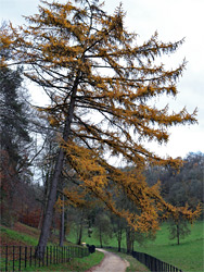 Larch beside the road