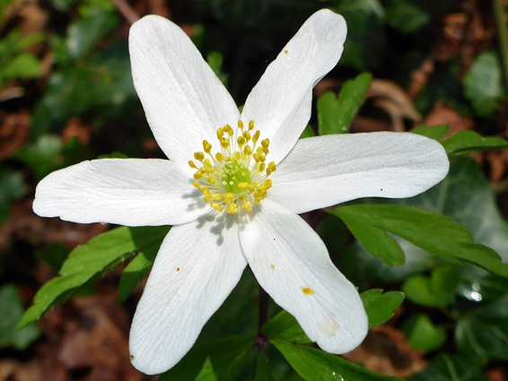 Wood anemone (anemone nemorosa), Midger Wood, Gloucestershire