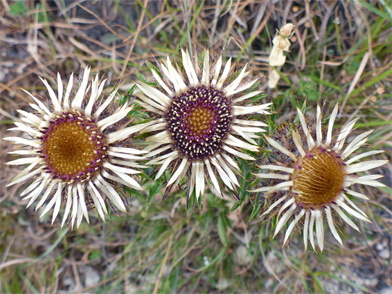 Carlina vulgaris (carline thistle), Crickley Hill, Gloucestershire