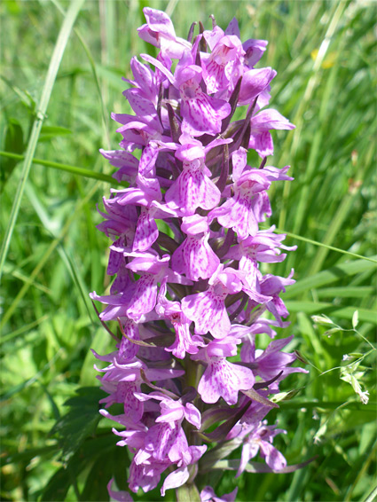 Southern marsh orchid (dactylorhiza praetermissa), Tuckmill Meadow, Oxfordshire