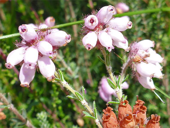 Erica tetralix (cross-leaved heather), Poor's Allotment, Gloucestershire