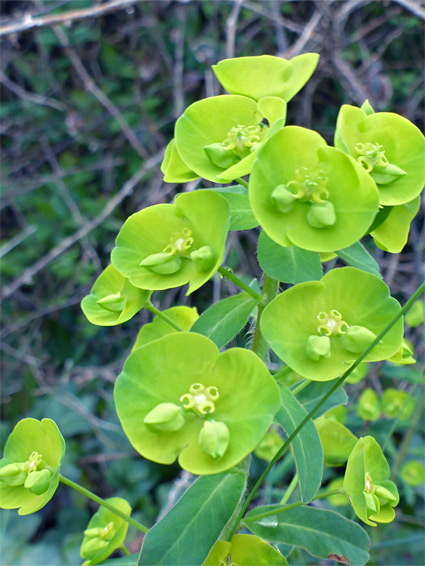 Wood spurge (euphorbia amygdaloides), Portishead, Somerset