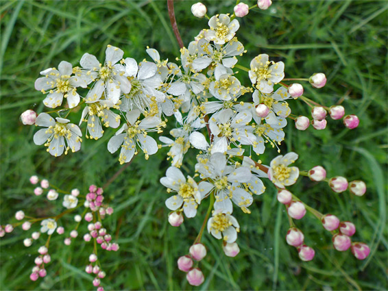 Fern-leaf dropwort