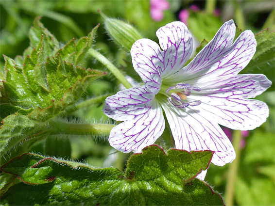 Geranium versicolor (pencilled geranium), Sand Point, Somerset