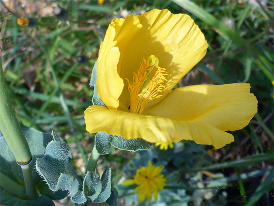 Glaucium flavum (yellow horned poppy), Axmouth, Devon