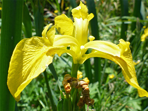 Iris pseudacorus (yellow iris), Tuckmill Meadow, Oxfordshire