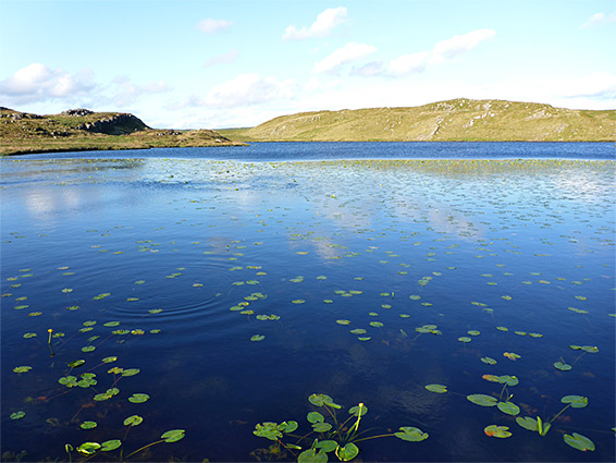 Lilypads on Lyn y Gorlan