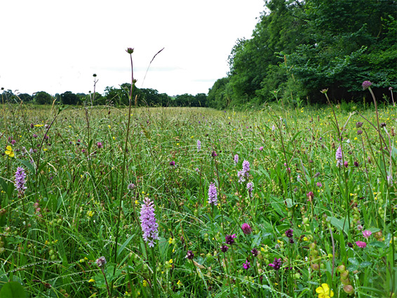 https://www.uksouthwest.net/p566/long-dole-meadow-orchids.jpg