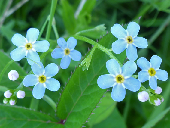 Myosotis scorpioides (water forget-me-not), Tuckmill Meadow, Oxfordshire