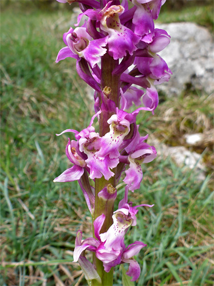 Orchis mascula (early purple orchid), Draycott Sleights, Somerset